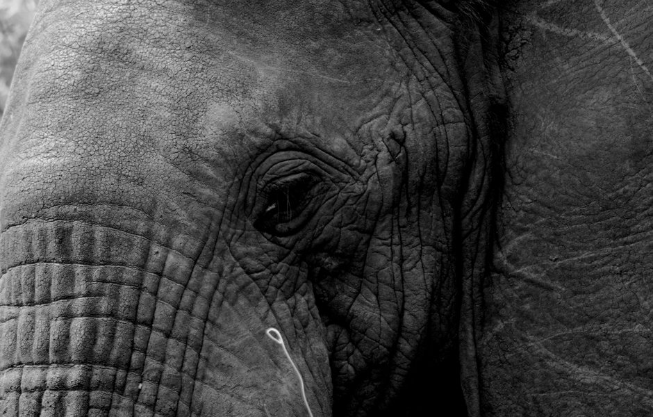 elephant-sad-close-up