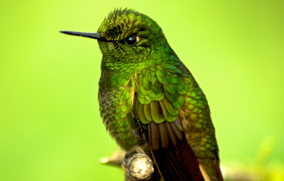 hummingbird-cloud-forest-safari-ecuador