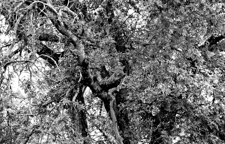 leopard-camoflage2-bw