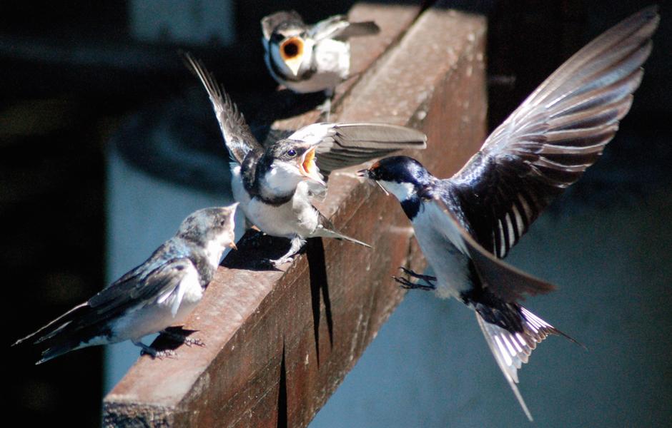 swifts-feeding-close-up
