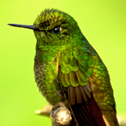 Hummingbird,-Cloud-Forest-ecuador