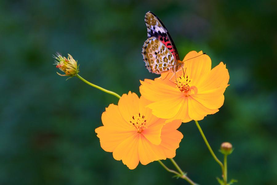Kumano-Kodo-Butterfly