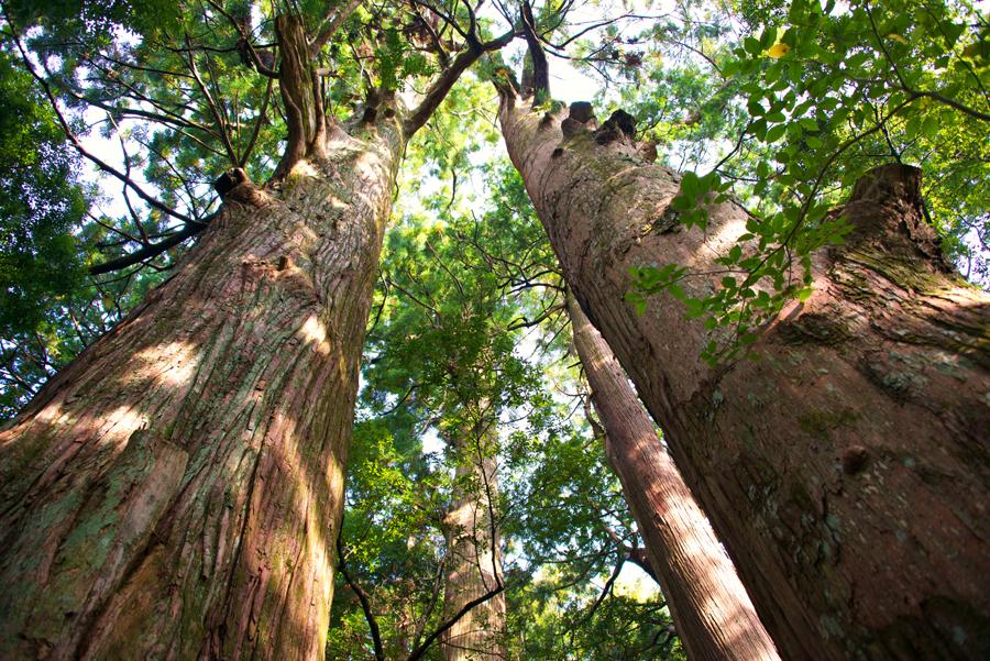 Kumano-Kodo-Looking-Up-Cedar-Trees