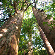 Kumano-Kodo-Looking-Up