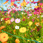 Kumano-Kodo-WildFlowers