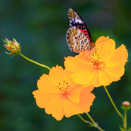 Kumano-Kodo-butterfly-2