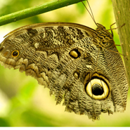 Owl-Butterfly,-Ecuador-Cloud-Forest,-Mashpi